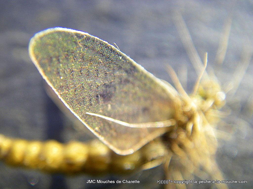 photo du montage d'une éphémère corps détaché