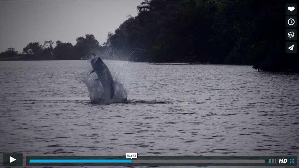 Photo d'un tarpon qui saute dans une vidéo de pêche du tarpon à la mouche au Nicaragua