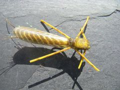 photo montage rogue foam golden stonefly